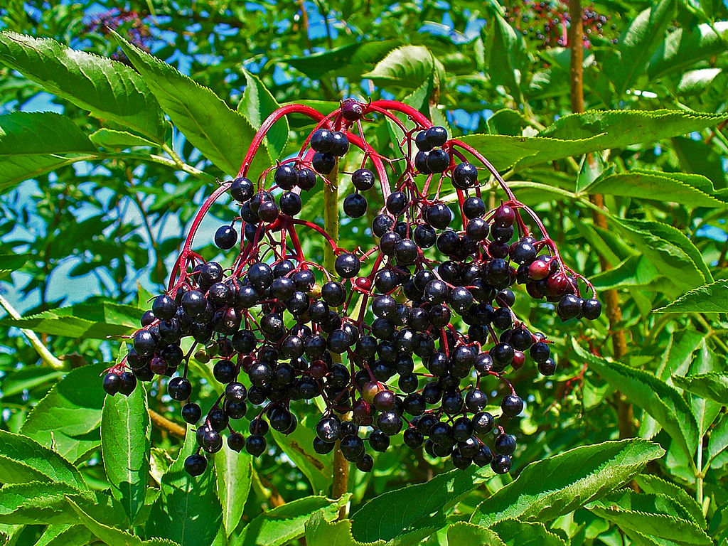 bez czarny - Quiz: Czy znasz jesienne krzewy i ich owoce?