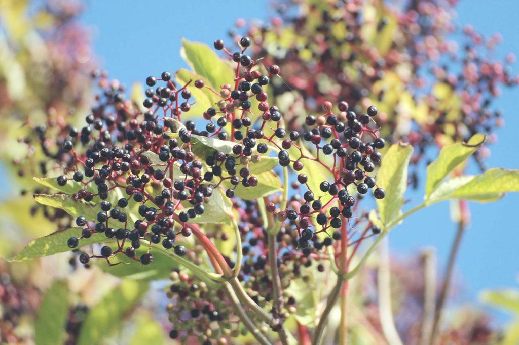 Jesienne owoce czarnego bzu
