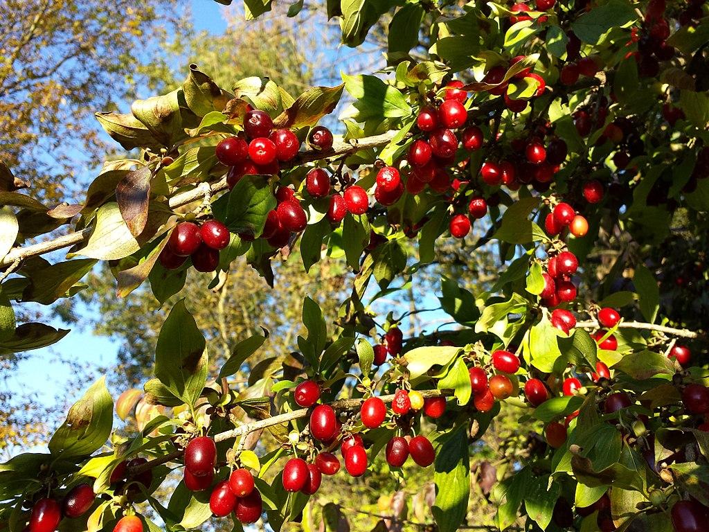 deren jadalny - Quiz: Czy znasz jesienne krzewy i ich owoce?