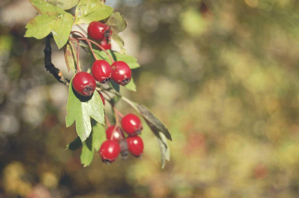 Owoce głogu zbierane jesienią