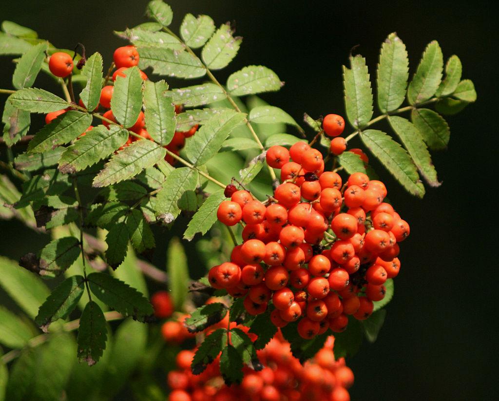 jarzab pospolity - Quiz: Czy znasz jesienne krzewy i ich owoce?