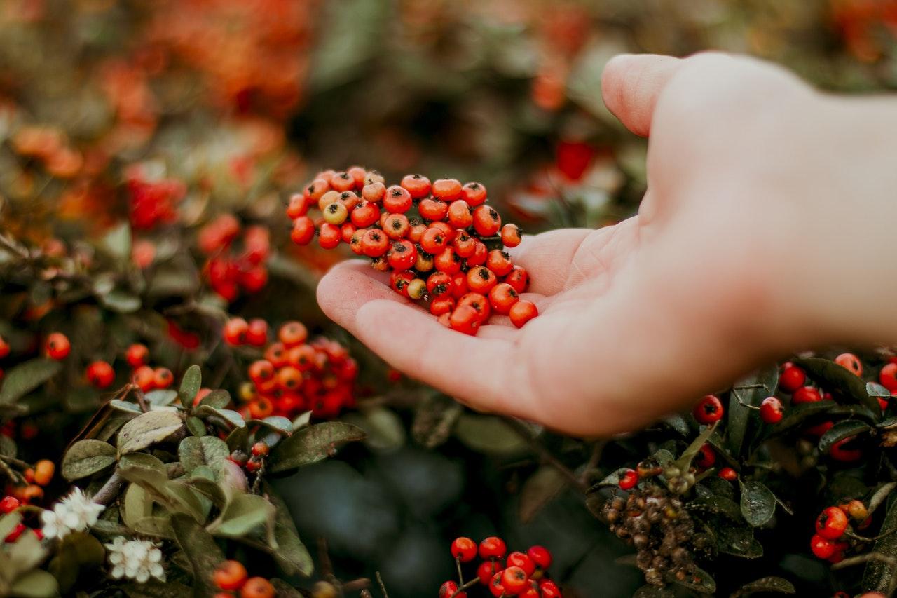 Quiz: Czy znasz jesienne krzewy i ich owoce?