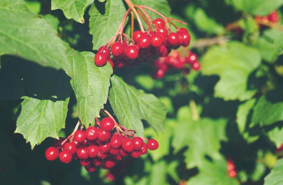 Zdrowe owoce kaliny - właściwości