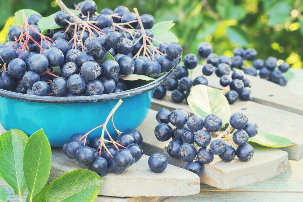 Owoce aronii na soki i nalewki