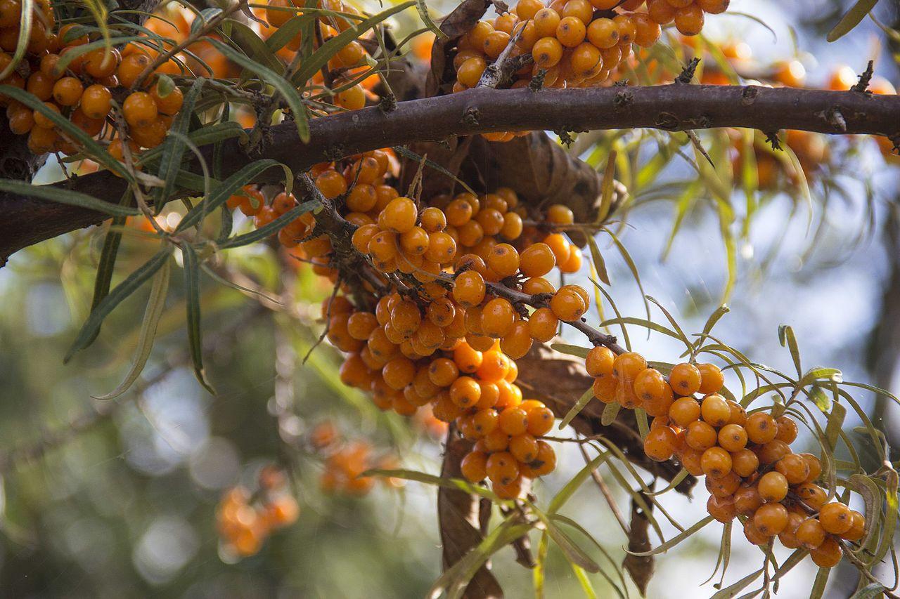 rokitnik zwyczajny - Quiz: Czy znasz jesienne krzewy i ich owoce?