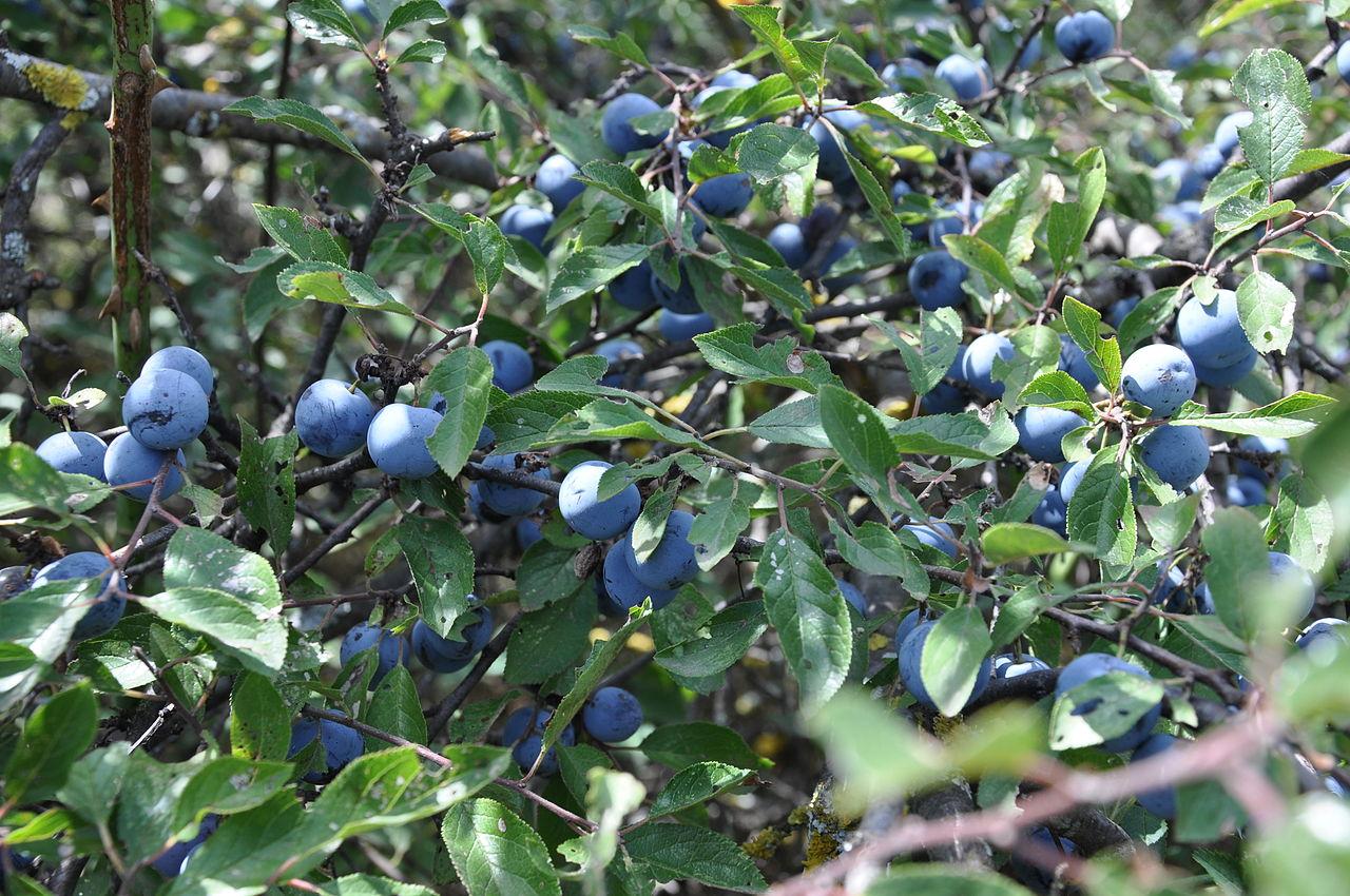 sliwa tarnina - Quiz: Czy znasz jesienne krzewy i ich owoce?